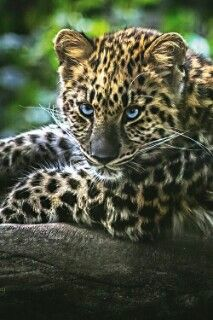 Leopard , awesome !!! ♡♡♡