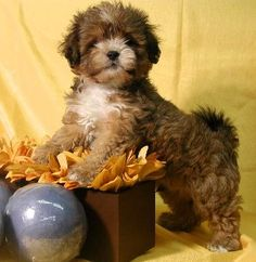 Shih Tzu Puppies for Sale Puppies For Sale, Cute Puppies, Cute Dogs, Dogs And Puppies, Shih Poo, Shih Tzu Puppy, Teddy Bear Puppies, Bear Puppy, Bear Dogs