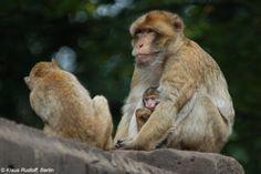 Makak berberyjski, magot, makak magot (Macaca sylvanus)