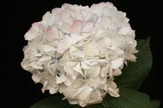 Hydrangea Antique Pink Wholesale Flowers (14 stems)  #wedding #flowers #party #orchids #sunflowers #weddingflowers #mothersday #decorations #valentinesday #peony