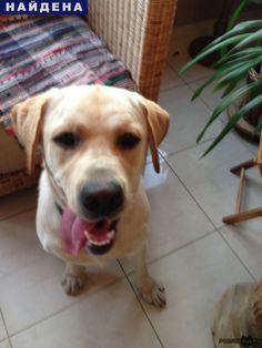Найдена собака кобель г.Новосибирск http://poiskzoo.ru/board/read25412.html  POISKZOO.RU/25412 Найден молодой лабрадор, кобель, палевый, в Академгородке, в районе ул. Золотодолинская, коричневый кожаный ошейник. Очень ждет хозяина!   РЕПОСТ! @POISKZOO2 #POISKZOO.RU #Найдена #собака #Найдена_собака #НайденаСобака #Новосибирск