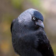 Photograph taken in my garden. Choucas Des Tours, Animals And Pets, Cute Animals, I Like Birds, Raven Bird, Jackdaw, Crows Ravens, British Wildlife, Rabe
