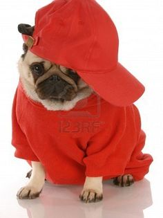 I don't condone dressing up animals, but this pug is too cute :)