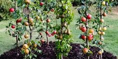 Trees: How to Get the Best Harvest From a Small Garden Cordon Fruit Trees: How to Get the Best Harvest From a Small GardenCordon Fruit Trees: How to Get the Best Harvest From a Small Garden Veg Garden, Fruit Garden, Garden Trees, Edible Garden, Potager Garden, Espalier Fruit Trees, Dwarf Fruit Trees, Prune Fruit, Tree Pruning