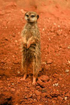 """""""Where's Pumba?"""" Tn State, Forests, Kangaroo, Deserts, World, Animals, Baby Bjorn, Animales, Animaux"""