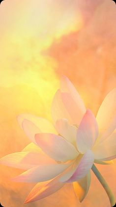 """1 Peter """" who are KEPT by the POWER of GOD through faith for salvation ready to be revealed in the last time. Exotic Flowers, Beautiful Flowers, Yellow Theme, Pink Yellow, Light Spring, Background Pictures, Amazing Nature, Cute Wallpapers, Chakra"""