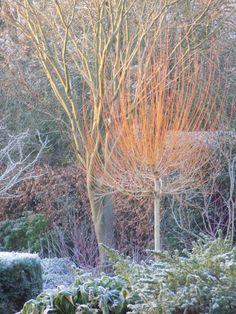 Salix Basfordiana, Hinton St George, Somerset