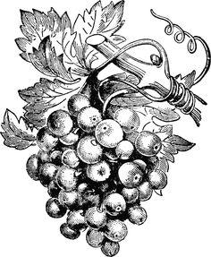 Grapes And Wine Clipart Clip Art Vintage, Vintage Drawing, Vintage Images, Grape Tree, Grape Vines, Grape Drawing, Art In The Age, Art Design, Botanical Illustration