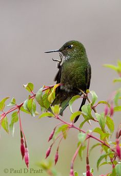 Viridian Metaltail (Metallura williami) is a species of hummingbird in the Trochilidae family.Found in Colombia and Ecuador. Its natural habitats are subtropical or tropical moist montane forests and subtropical or tropical high-altitude grassland. #hummingbird.#Viridian #Metaltail