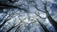 Árboles de mirto in invierno, coste oeste Tasmania, Australia - Myrtle forest in winter, west coast Tasmania, Australia