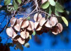 Combretum Collinum          Bi-coloured Bushwillow             Boswilg       4-12 m         S A no 541               Tree Atlas of Namibia