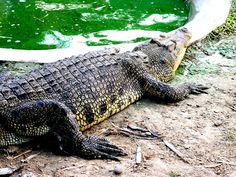 Home to a decent amount of animals (not only crocodiles) and covering a large piece of land, Davao Crocodile Park is an excellent place to view and even taste real crocodiles. Share #DavaoCity