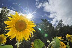 Title  Sunflower  Artist  Guido Montanes Castillo  Medium  Photograph
