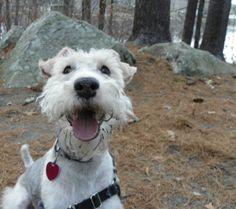 Meet Charles DeWitt Hall! This Wire Fox Terrier loves playtime! Week of July 11th, 2016.