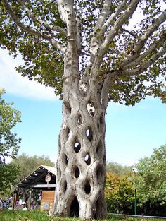 "This is the famous ""Basket Tree"" made from six Sycamores grafted together in 42 different connections to give it the basket shape."