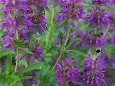 Bee Balm, Lemon.  Attracts butterflies, hummingbirds and bees - partial sun - blooms July - August .
