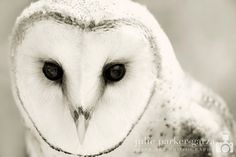 Winter Owl Photography Whiter Shade of Pale by julie parker-garza