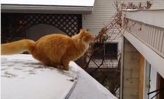 Waffles The Cat Tries to Jump. Instead, He Plops (Video)