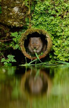 "IlPost - ""Ratto d'acqua"" – Ben Andrew The Mammal Society Mammal Photographer of the Year –"