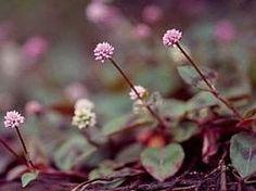 """Polygonum capitatum - Tapete-inglês - planta herbácea, reptante e perene, que alcança 15 a 20 cm de altura. Sua ramagem é delicada, de cor castanha e as folhas são lanceoladas, pubescentes, com margens e nervuras vermelhas, coloração bronzeada e com desenhos em """"V"""". Deve ser cultivada sob sol pleno ou meia sombra."""