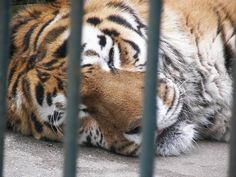 Animals in inhumane zoo enclosures often suffer from a mental illness known as zoochosis, which is caused by being deprived of the spacious and stimulating environment they need. Help improve the lives of zoo animals by giving them better and more natural homes.