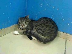URGENT! TO BE DESTROYED 3/19/13 Dawn, ID# A0959035, is a beautoful brown tiger and white DSH mix, estimated at 1 year old. This sweet kitty is sad because her owner died without planning for her fate in case of death. PLEASE, if you have pet(s) make plans for their care in case you die! Dawn is understandably scared and upset. If you can foster or adopt Dawn, please contact a New Hope rescue to pull her for you. See information at https://www.facebook.com/Pets…