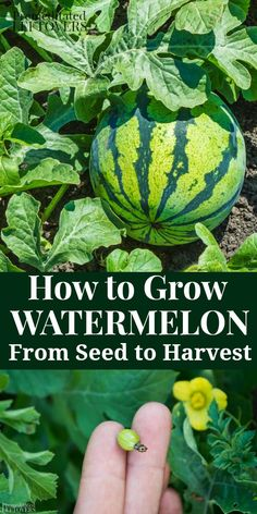 Use these tips on How to Grow Watermelon in your garden this summer. Gardening tips for growing watermelon, including how to plant watermelon seeds and watermelon seedlings, and how to harvest watermelon. Growing Watermelon From Seed, Growing Melons, Watermelon Uses, Watermelon Flower, How To Grow Watermelon, Growing Vegetables, Watermelon Farming, Home Vegetable Garden, Fruit Garden