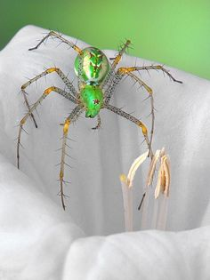 The green lynx spider (Peucetia viridans) is a bright-green lynx spider usually found on green plants. It is the largest North American species in the family Oxyopidae. (Photo by: Bob Jensen aka. Green Lynx)