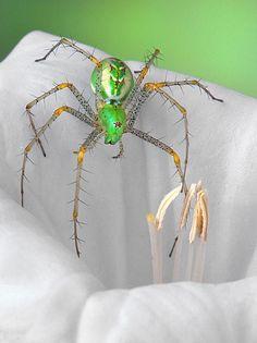Peucetia viridans, the green lynx spider