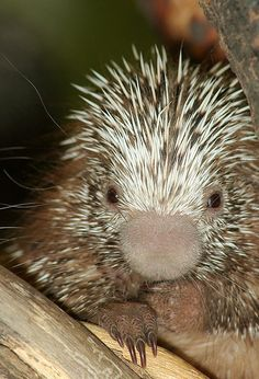 baby porcupine... so many cute pics on this site :D