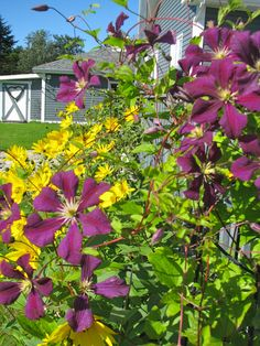 Purple Clematis and yellow 'Sunflowers'