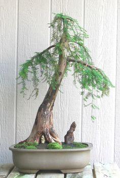 Weeping Bald Cypress