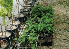 Az. F.lli Lo Giudice: Puntiamo sulla viticoltura in fuorisuolo - table grapes and soilless culture in perlite and coco substrates