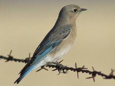 Mountain Bluebird adult Female