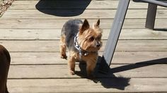 Reunited Sean O'Connor‎CT Lost Pets September 12 ·     Lost on 9/11. 5 lb Yorkie. Max. New Haven in the Westville area on Central Avenue. If found or seen please notify me via this post. https://www.facebook.com/groups/470027599680623/permalink/1153287574687952/