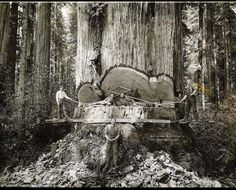 capture lumberjacks working among the redwoods in Humboldt County, California, when tree logging was at its peak. I was born in Humboldt so I treasure the redwood forest history. Vintage Pictures, Old Pictures, Old Photos, Rare Photos, Funny Pictures, Random Pictures, Funny Pics, Giant Tree, Big Tree