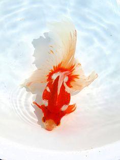 琉金 ryukyu goldfish