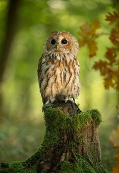 Strix aluco, Tawny Owl Strix Aluco, Animals And Pets, Cute Animals, Tawny Owl, Wood Owls, Owl Pictures, Great Horned Owl, British Wildlife, Beautiful Owl
