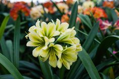 Clivia miniata, Green Peach x Green Group 1.  Colorado Clivia's plant no. 1927A.