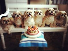 Happy Barkday Celebration to Shih Tzu Want. I want to have as many shih tzus as the picture Cute Puppies, Cute Dogs, Dogs And Puppies, Doggies, Lap Dogs, Shih Tzu Puppy, Shih Tzus, Lhasa Apso, Tier Fotos