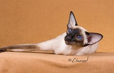 GC, RW CherMa'Ki's Princess  CFA's 3rd Best Siamese in Championship  Seal Point Female