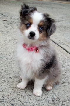 Toy Aussie pup. We are looking into getting this breed...