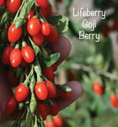 40 Best Goji Berry Plant Images Berry Plants Goji Goji Berries