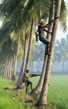 Coconut tree climbing farmers. Kerla is a state in india known for the largest production of coconuts in the world.