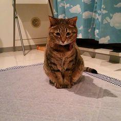 マミーおかえり~ Mom, welcome back~  #cat #catstagram #igclubcats #ilovemycat #instacat #neko #tabby #kitty #meow #world_kawaii_cat #worldcatsjournal #고양이 #ilovemycat #pets_of_our_world #ねこ #猫 #猫写真 #ネコ #きじねこ #きじとら #キジネコ #キジトラ #loves_my_cat #しましま軍団
