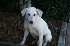 Julie: Yellow Labrador Retriever, Dog; East Hanover, NJ