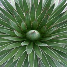 Ocahui Hardy Century Plant - Agave ocahui var. ocahui
