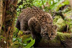 La huiña, güiña, gato colorado o gato colo es un felino endémico de la region Pacìfico-Austral del continente sudamericano. Su distribuciòn se extiende desde la zona central de Chile, hasta la Patagonia. Wikipedia