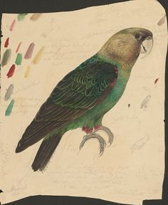 Edward Lear-Green and red parrot - ink, graphite and watercolor drawing (28) by peacay, via Flickr
