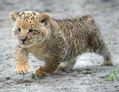 Liger Cubs Make Their Debut Photos - ABC News